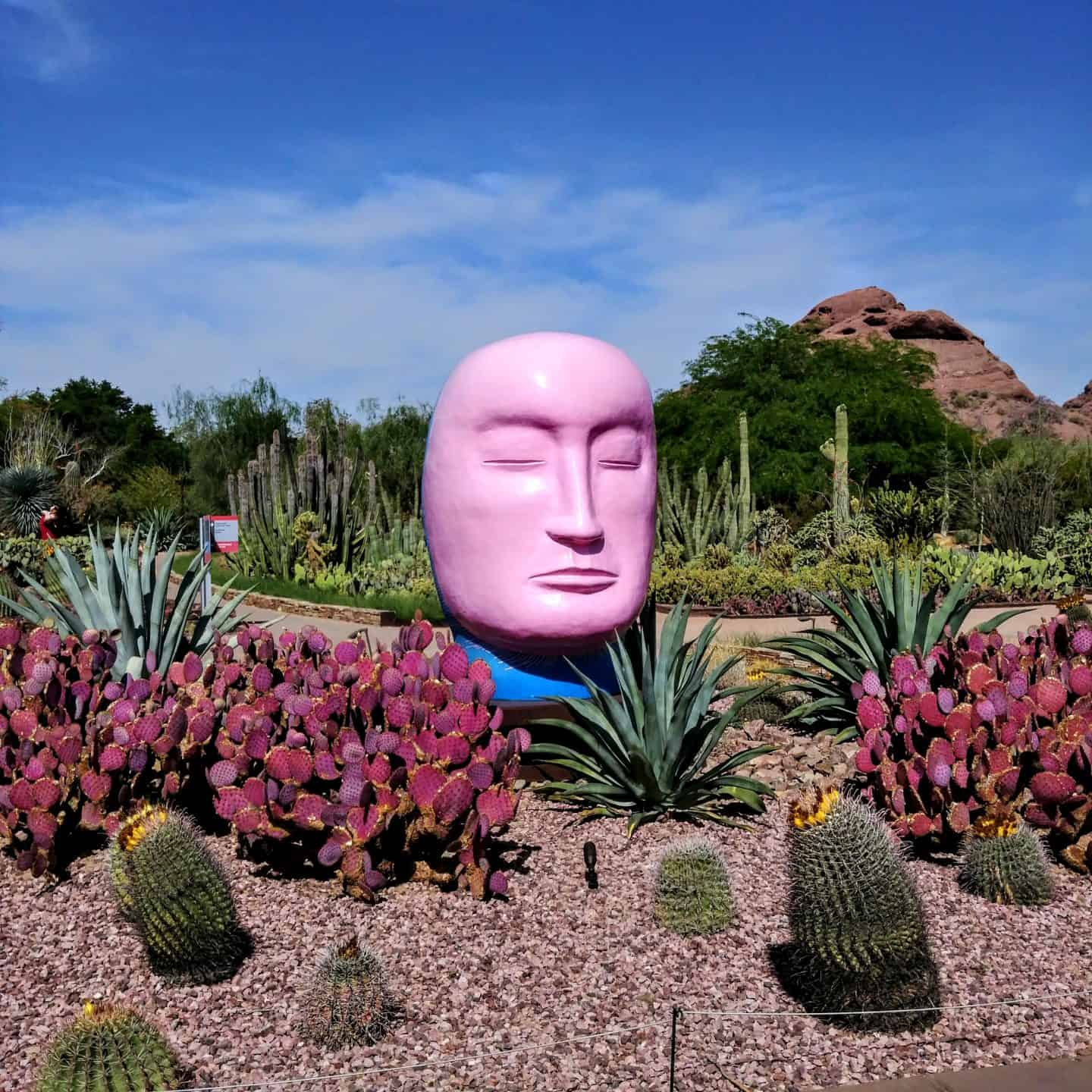 Botanical Gardens Arizona Tempe Pink head in cactus garden with mountain views