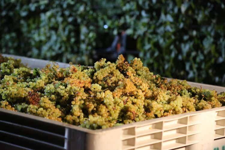 grapes to make wine